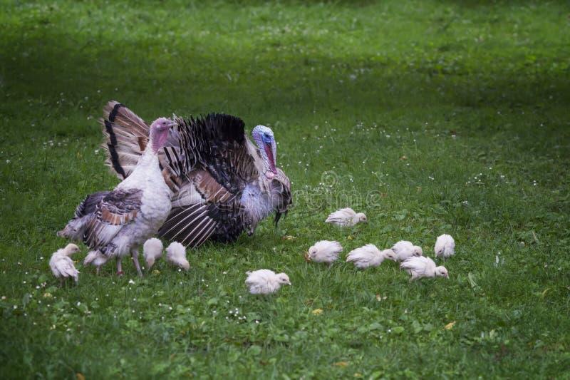 Tacchino adulto, con una femmina ed i tacchini che camminano lungo il prato inglese immagine stock