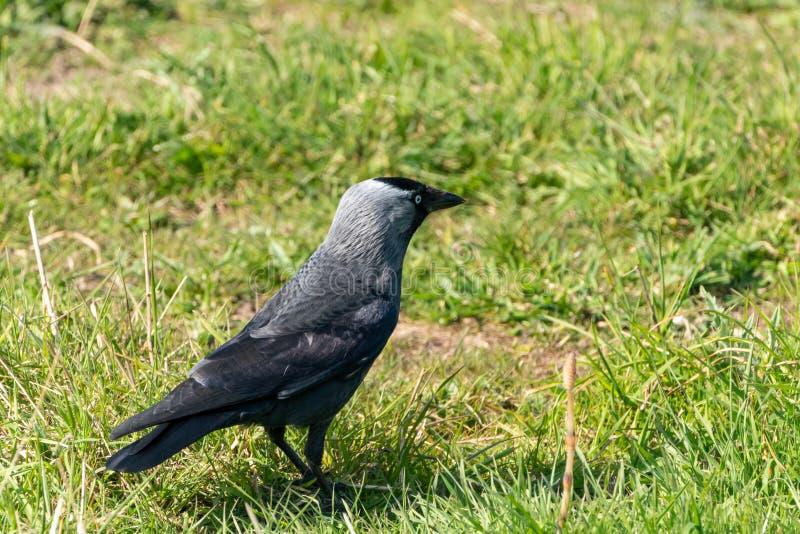 Taccola ( Corvo monedula) , contenuto il Regno Unito fotografie stock libere da diritti