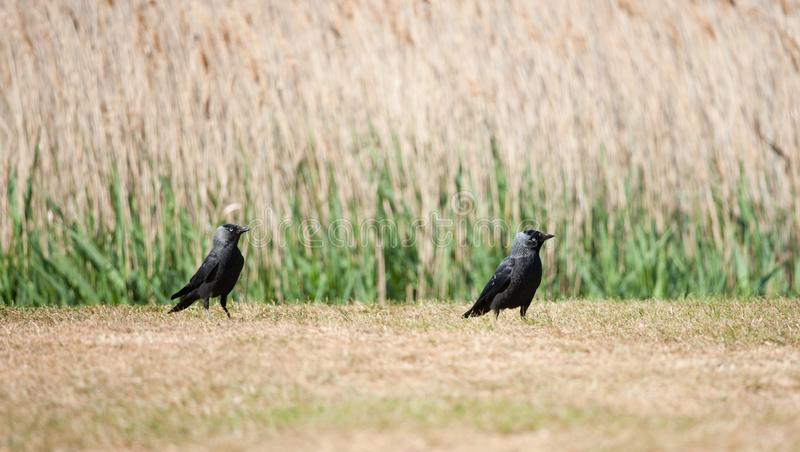 Taccole, Snape, Regno Unito fotografia stock libera da diritti