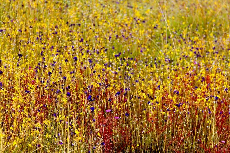 Tache floue indica du Drosera Linn.flower (DROSERACEAE) avec l'herbe sèche photographie stock libre de droits
