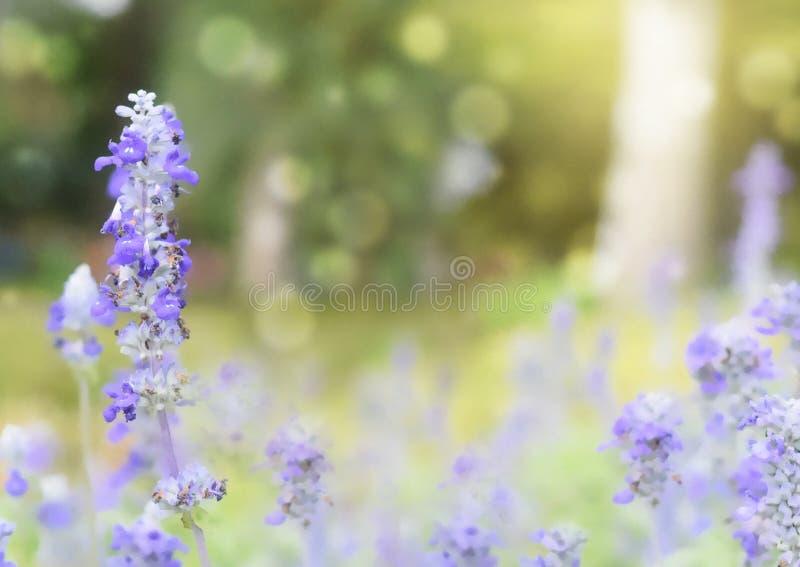 Tache floue molle sur la belle fleur de lavande dans le jardin avec le fond de bokeh image stock