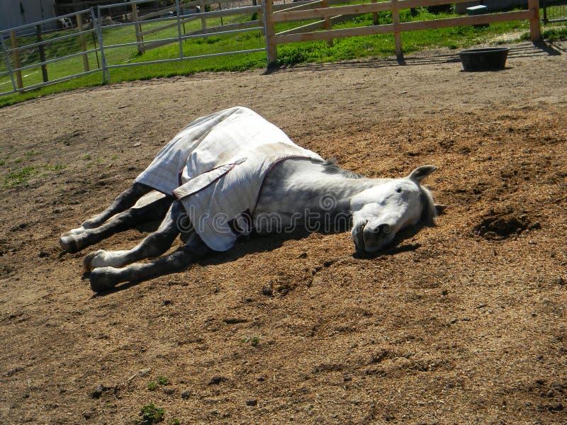 Tachetez Gray Quarter Horse Gelding Sleeping photos stock