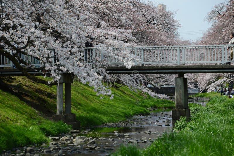 tachikawa czereśniowy okwitnięcie obrazy royalty free