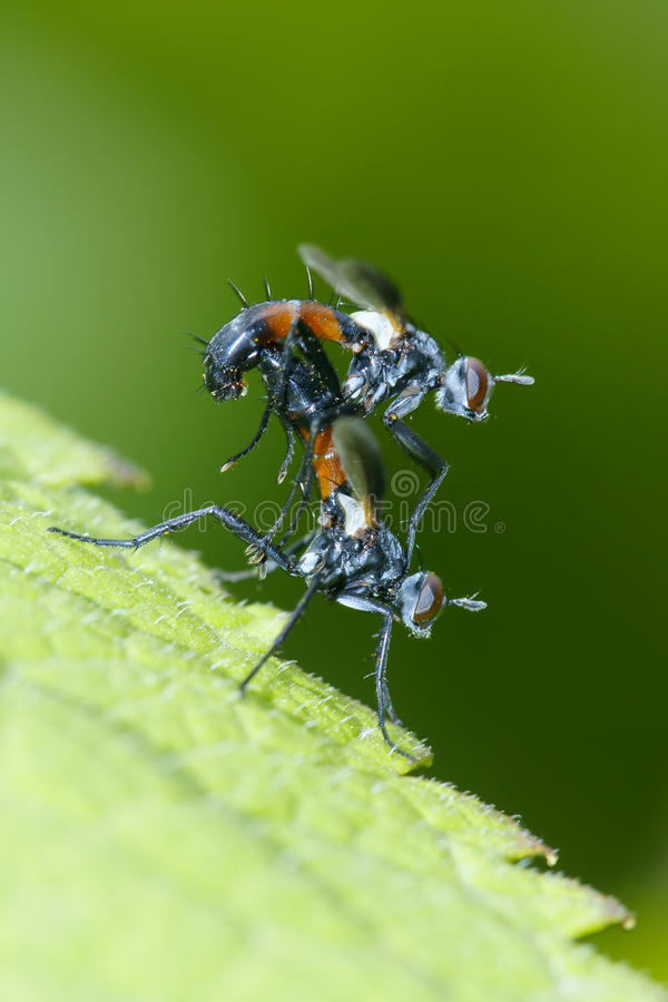 Download Tachinidae stock image. Image of green, leaf, tachinidae - 17382399