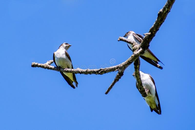 Tachycineta för tre trädsvalor bicolor vila på en filial; bakgrund för blå himmel royaltyfri fotografi