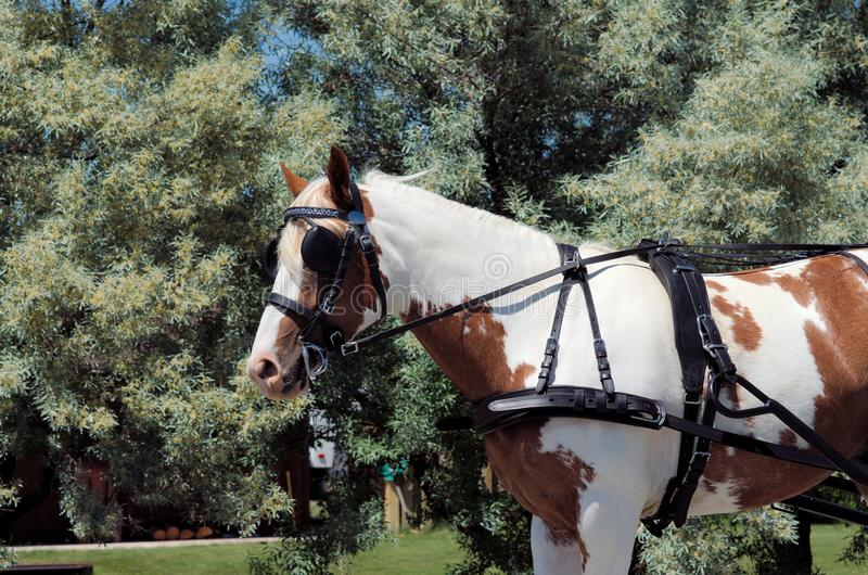 Tack equipment of draft horses. Side view of harness and tack equipment of draft horse stock image