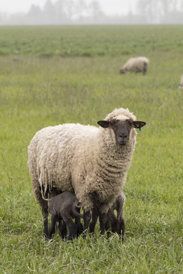 Tacka och två lamm arkivbild