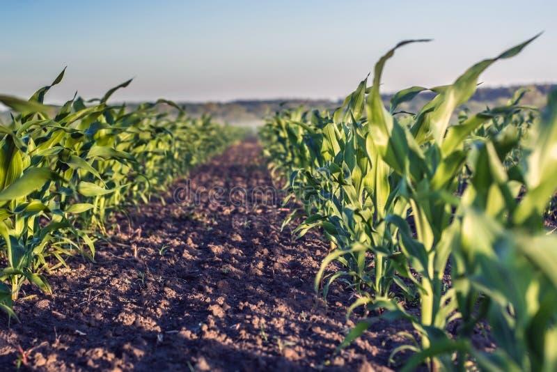 Tadellos flache Reihe des jungen Mais im Knie gegen Himmelhintergrund lizenzfreies stockfoto