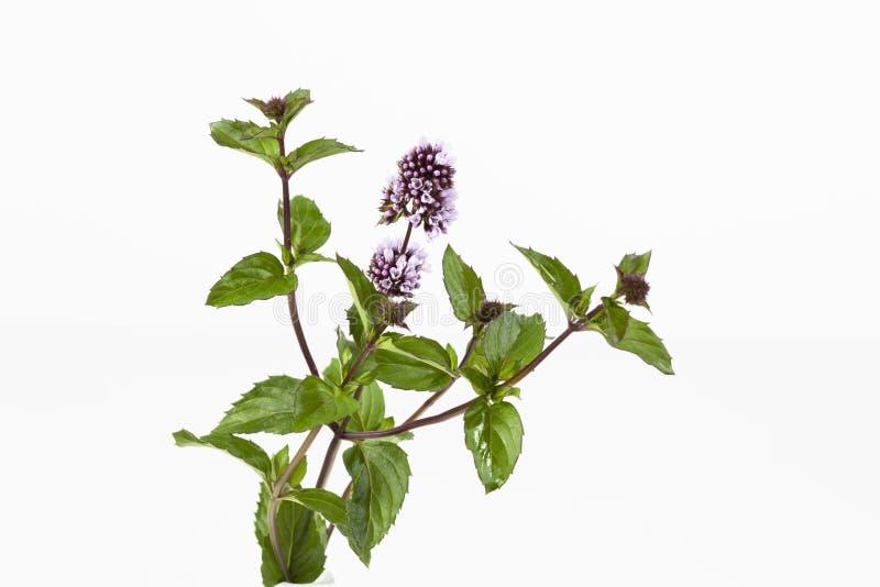 Tadellose Stämme mit Blumen verlässt auf weißem Hintergrund stockbild