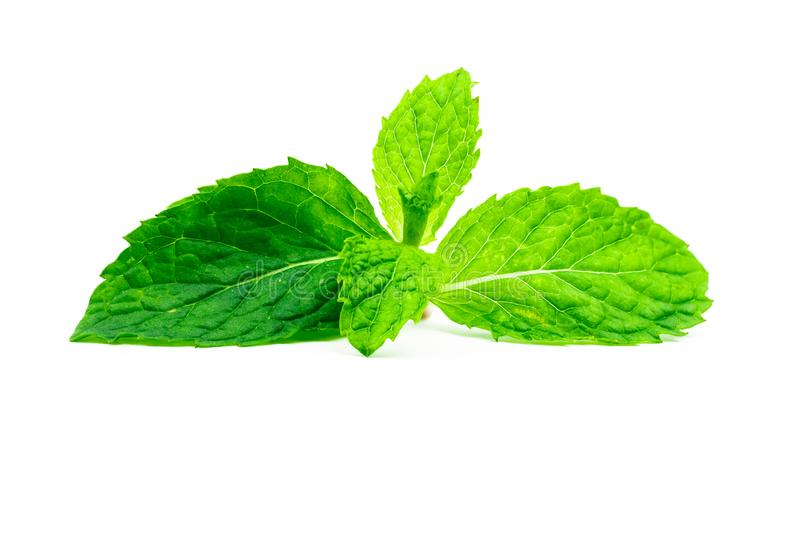 Tadelloses Blatt der Küche lokalisiert auf weißem Hintergrund Natürliche Quelle der grünen Pfefferminz des Mentholöls Thailändisc stockfoto
