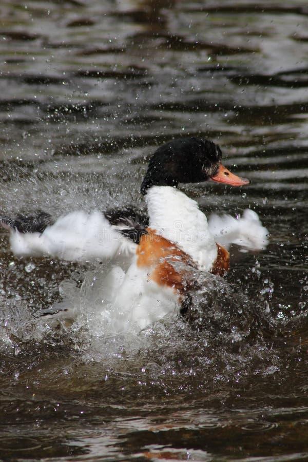 Tadorne commune d'adulte éclaboussant dans l'eau nettoyant ses plumes photos stock