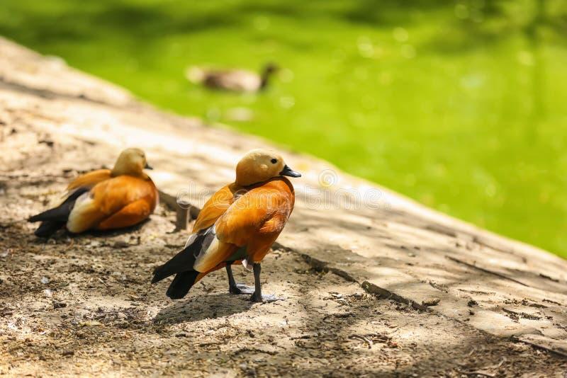 Tadornes roody mignonnes dans le jardin zoologique photo stock