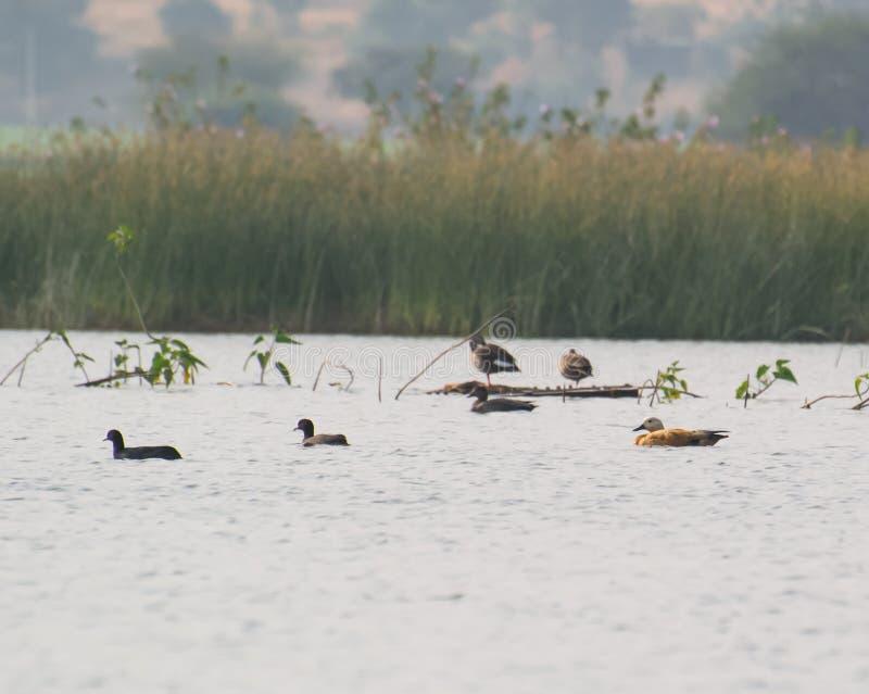 Tadornes vermeilles avec d'autres canards dans un lac photos libres de droits
