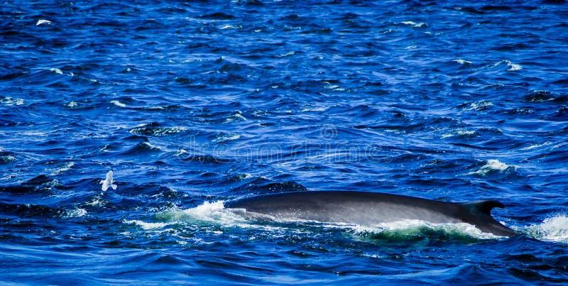 Tadoussac Canada: balena che pratica il surfing in mare in tempesta immagini stock