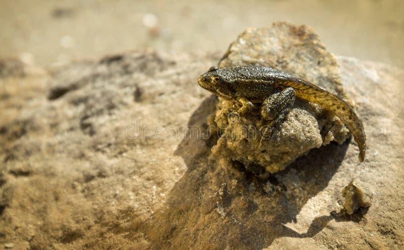 tadpole stockfoto