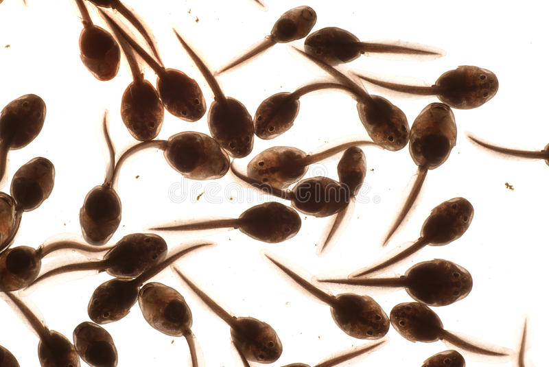 Download Tadpole stock photo. Image of growth, amphibian, white - 9620210