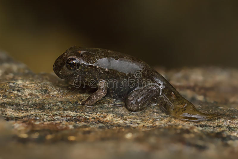 Tadpole metamorphosis to frog stock image image of days for Frog transformation
