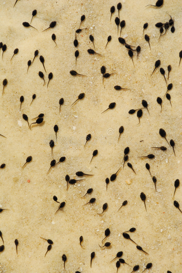 Free Tadpoles In Lake Royalty Free Stock Photography - 761327