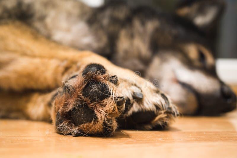 Tafsar av den tyska herden Dog slovakia royaltyfria foton