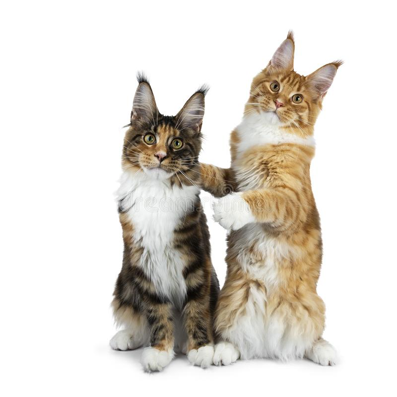 Tafsar sitta för två roligt Maine Coon kattkattungar som är skämtsamt bredvid de, en på hind, krama annat, isolerat på den vita b royaltyfria bilder