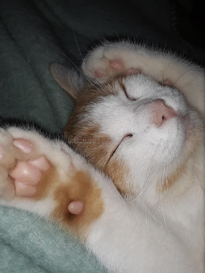 Tafsar upp Kitten Smiling Sleeping royaltyfri bild