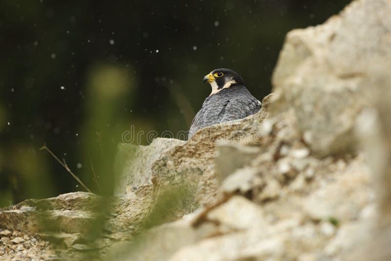 tagen zoo för falcoperegrinus foto Peregrine Falcon har en kosmopolitisk förlängning fotografering för bildbyråer