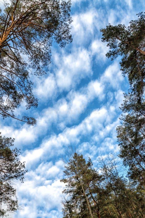 Tageslandschaft von Kiefern im Frühlingsommer-Wald, mit einem hellen blauen Himmel mit Wolken Ansicht von unten des Himmels lizenzfreie stockfotos
