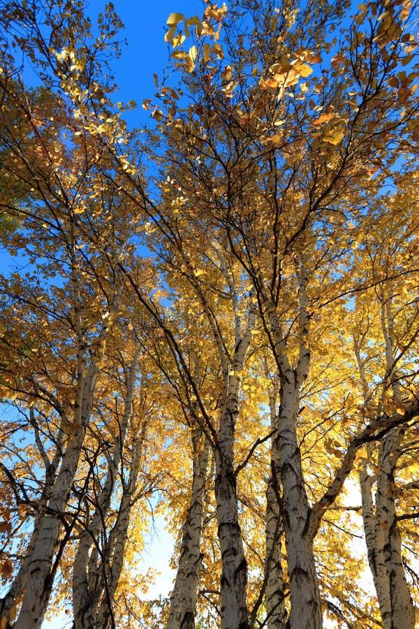 Tageslicht hinter Birkenbaum im Herbst lizenzfreies stockbild