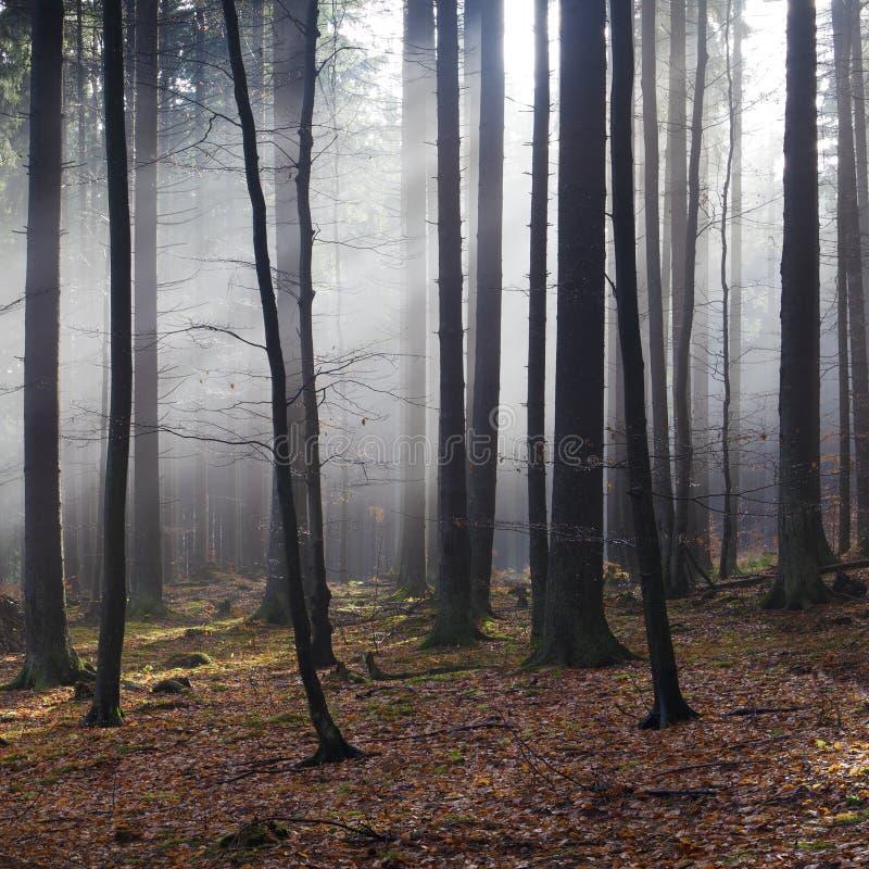 Tageslicht im nebelhaften Herbstwald lizenzfreies stockfoto