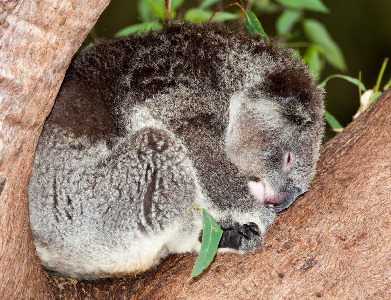 taget foto för Australien björnkoala arkivbild