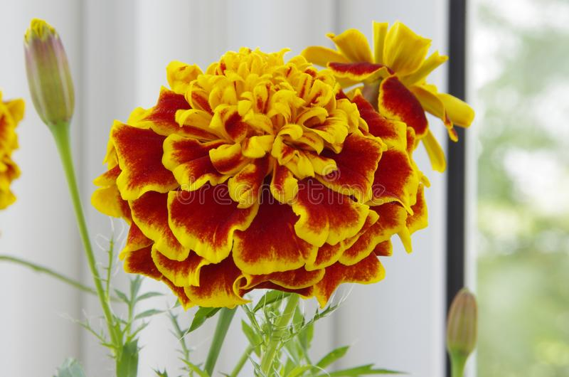 Tagete fiorito del fiore fotografie stock libere da diritti