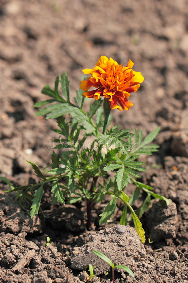 Download Tagetes stock photo. Image of green, flower, soil, eudicots - 14307626