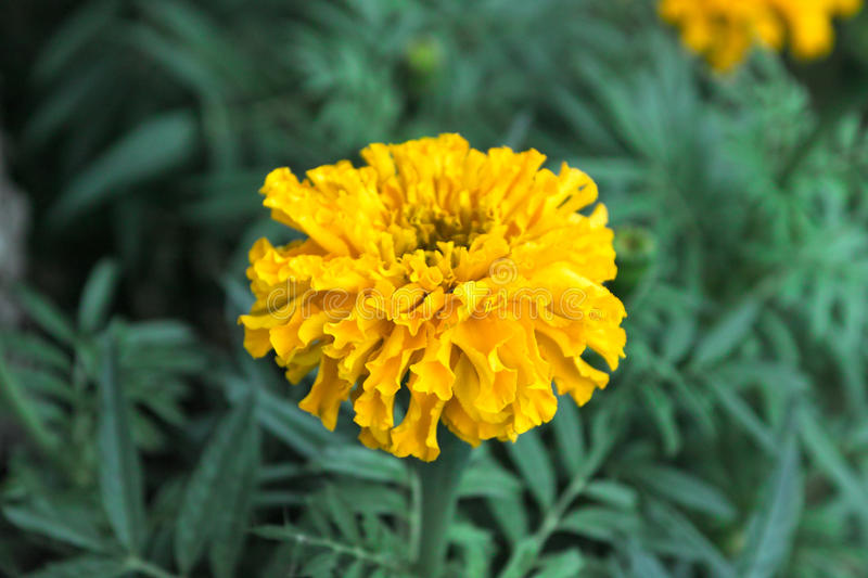 Download Tagetes stock image. Image of colourful, flower, garden - 29456919