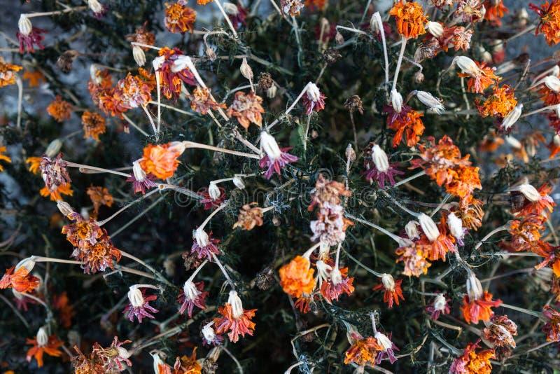 Tagetes appassiti dei fiori del tagete fotografia stock libera da diritti