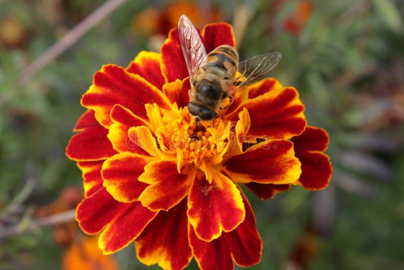 Tagetes e un'ape fotografia stock libera da diritti