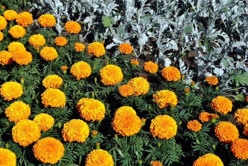 Tagetes erecta黄色万寿菊的沼地和橙色开花的生长在花床上的花和芽 免版税库存照片