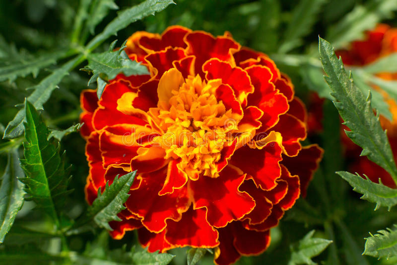 Tagetes Erecta immagine stock