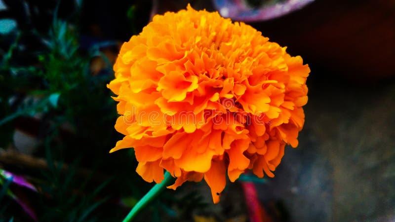 Tagetes-erecta, die mexikanische Ringelblume oder aztekische Ringelblume oder, ?Ringelblume ?oder ?Marys Gold ?, stockfoto