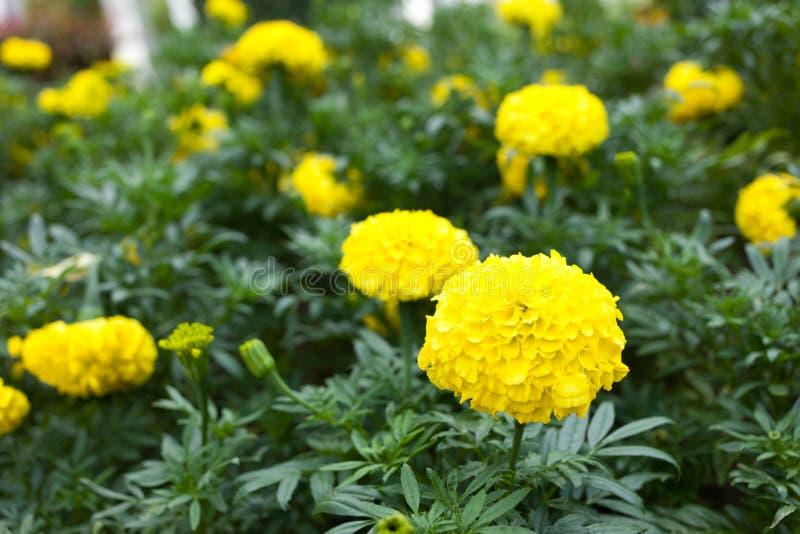 Tagetes erecta L or Marigold beautiful flower stock image