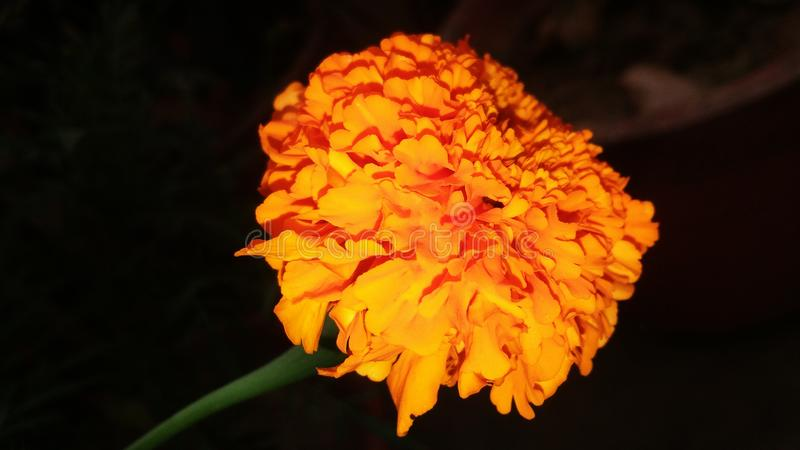 Tagetes erecta, the Mexican marigold or Aztec marigold or , `marigold`, or `Mary`s gold`, stock photo