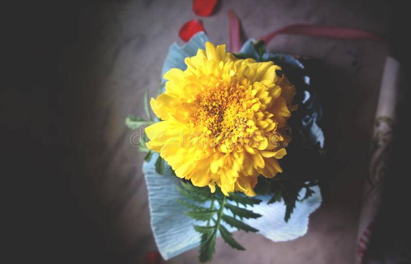 Tagetes erecta, the Mexican marigold, yellow medical flower stock image