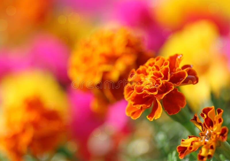 Tagetes flower stock image