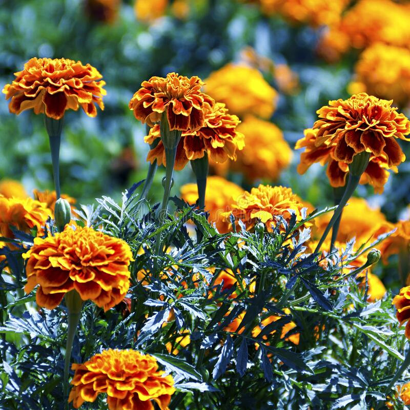 Tagetes flower on a bed royalty free stock images