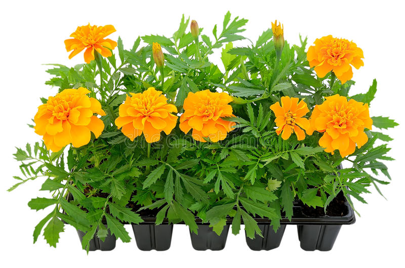 Tagetes flower seedlings in containers stock photography