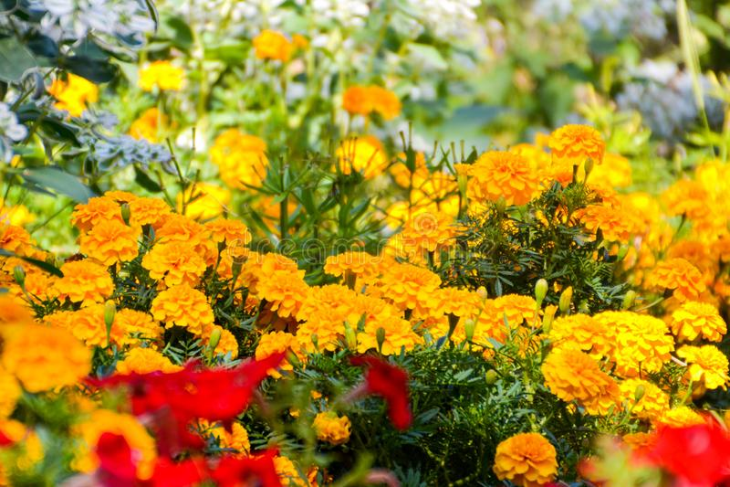 Tagetes im Garten Tagetes-Gartenblumen Tagetes - magische Blumen Der Blumengarten lizenzfreies stockfoto