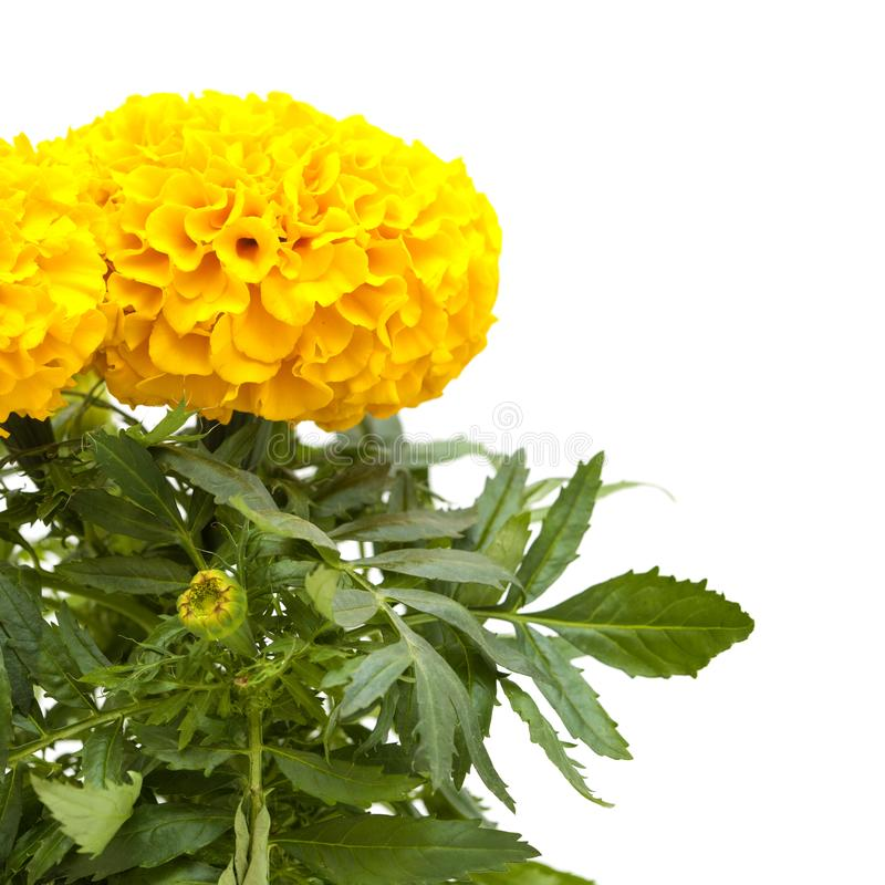 Tagetes isolated on white stock photography