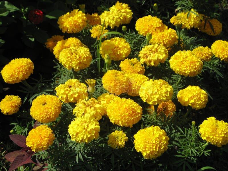 Tagetes jaune photo stock