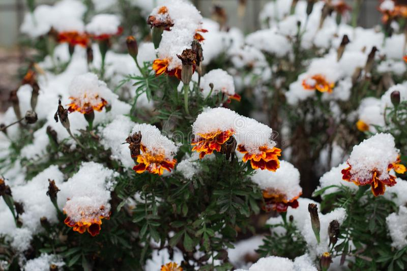 Tagetes marigold red flower under snow royalty free stock image
