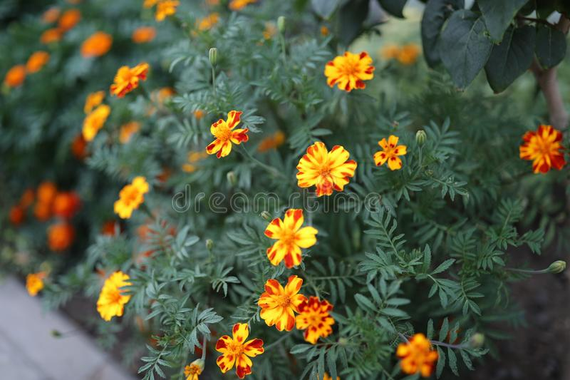 Tagetes mexikanisch oder in Latein Tagetes-tenuifolia vektor abbildung