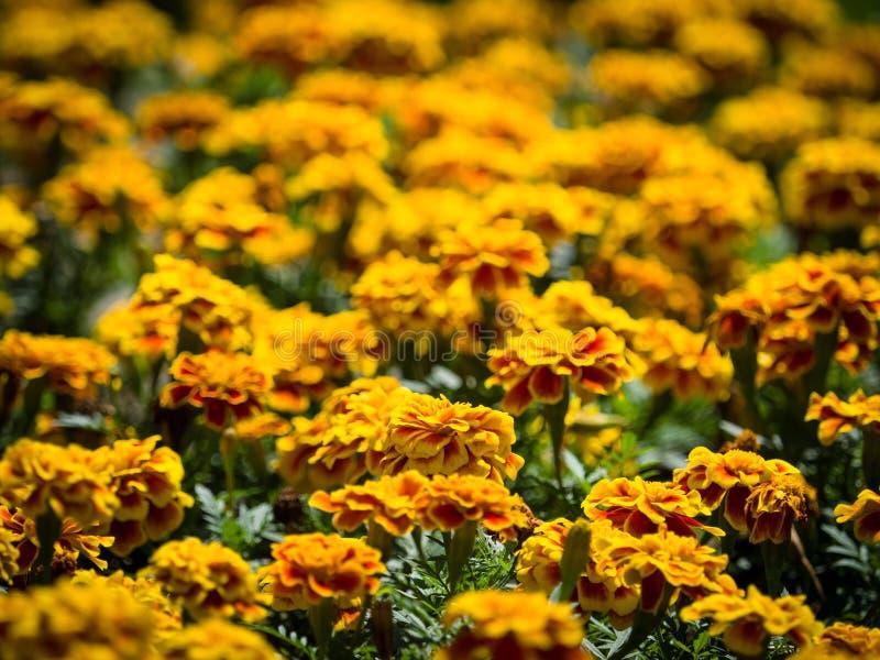 Tagetes o tageti giallo arancione di colori dell'aiola fotografie stock libere da diritti